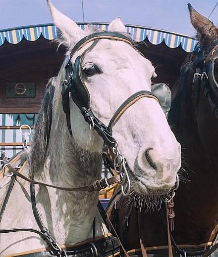 (poisson d'avril) Retour des chevaux